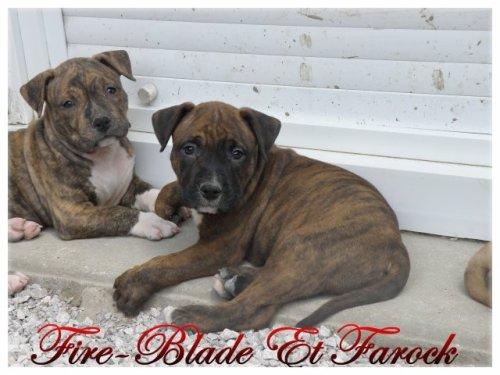 Fire-Blade à 1 mois et demi et son frère Farock