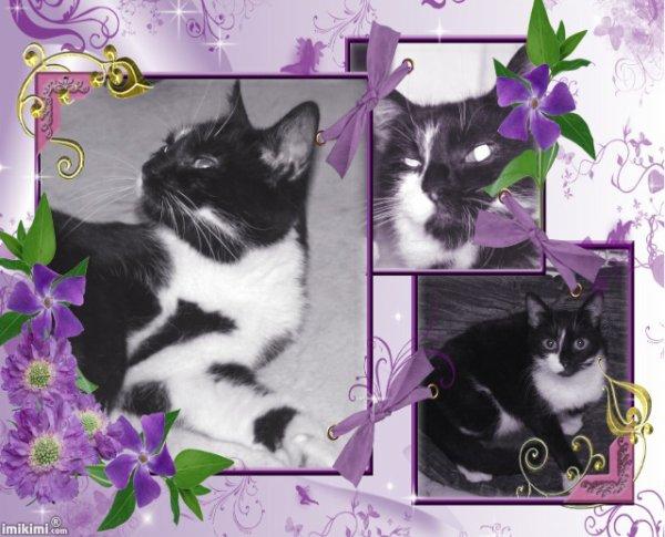 LEIA chatte type européenne noir et blanc FIV+ (59) - Handi'cats