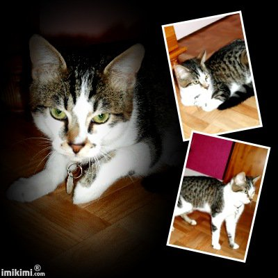 MERLIN joli chat type européen non LOOF, ataxique (30) - Handi'cats
