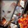 DUCHESSE type européenne blanche mi-angora sourde + pb neuros 8 mois (04) - Handi'cats