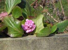 Première fleurs de jardin