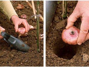Planter le glaïeul