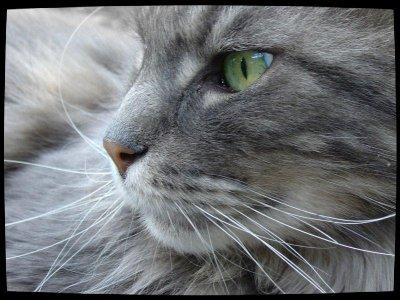 """Résultat de recherche d'images pour """"image du chat plume grise"""""""