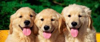 les  trois  chiens