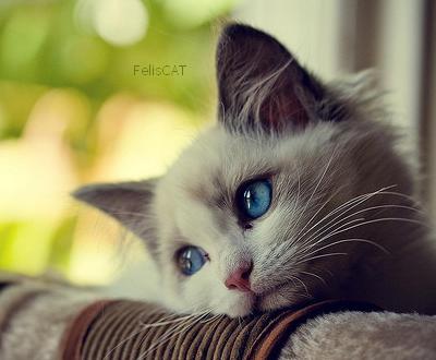 Les particularités du chat
