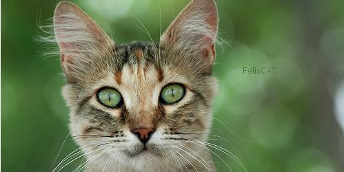 Les chats sauvages et petits félins