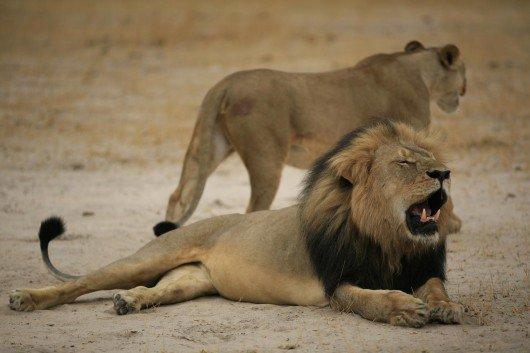 Lion abattu au nom du Sport