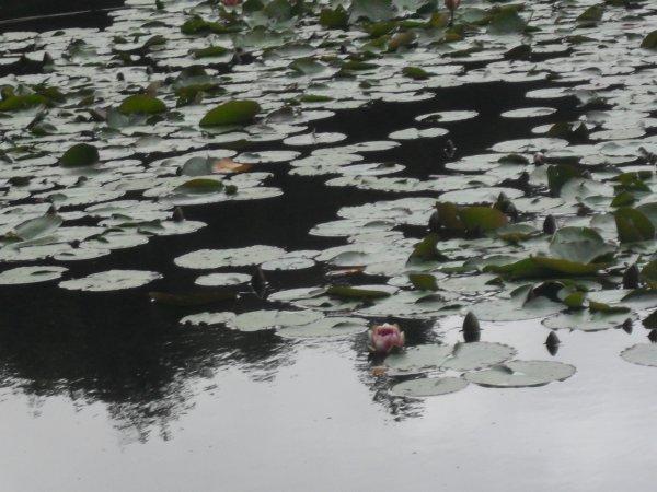 nénuphars du lac de Crenu