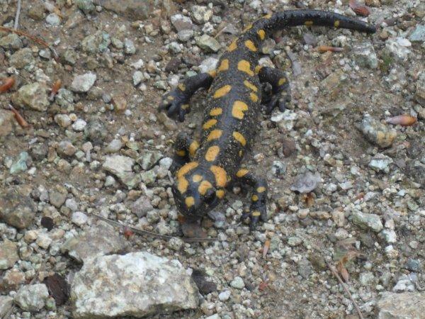 Salamandre de Corse, Salamandra corsica Savi, 1838  Histoire et origine Le Salamandre de Corse a été décrit pour la première fois par Savi en 1838, le nom scientifique de cette espèce est Salamandra corsica. Salamandra vient du grec et signifie 'salamandre', ceci est le nom commun des animaux de ce genre en grec, corsica vient du latin qui signifie 'de Corse'.