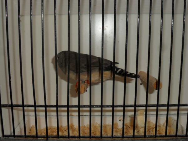 madarins en cage de préparation