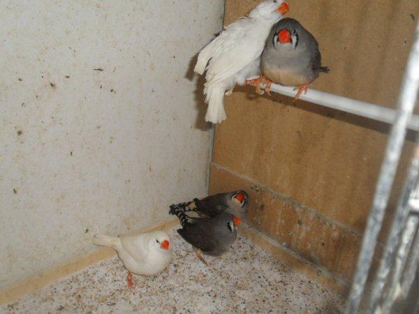 Mes 5 femelles mandarins