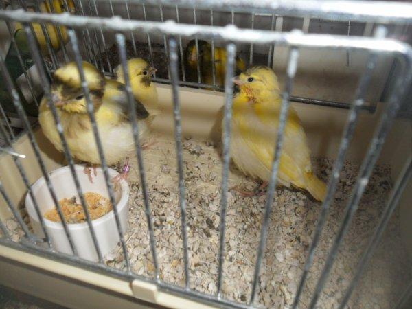 J ai retirer mes jeunes fifes mis en cage baby et la maman a fait sont nid pour sont deuxièmes tours