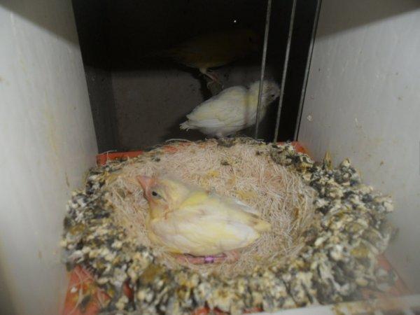 Une nichée de lipo jaune de 26 jours qui vient de sortir du nid