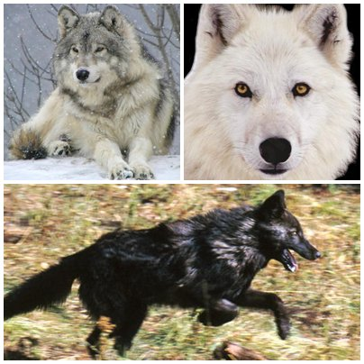 Quelle est votre loups préféré ?