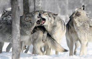 Loup qui es-tu?