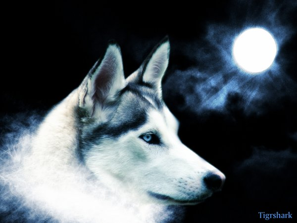 Loup,canidé