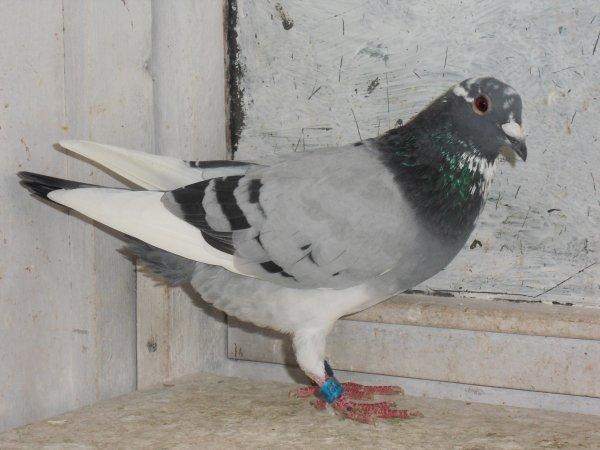1 er   prix groupement de saint pol de 314 pigeons