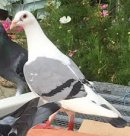 Photo de pigeon62217