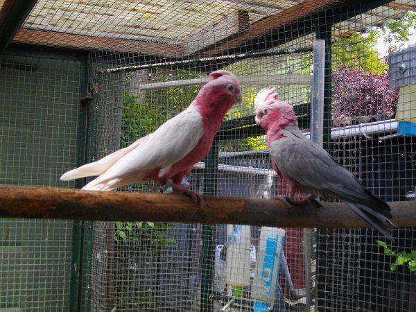visite guidee chez les rosalbins lutinos ( male porteur et femelle lutino couple ne en 2013)