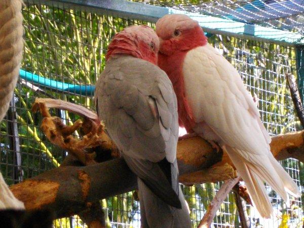 petit coup d oeil aujourd hui a notre premier couple de ROSALBINS LUTINO ( male porteur et femelle mutante ) ne en 2013  et si c est pas de l amour ca y ressemble !........... prochainement nous vous presenterons les jeunes  de 2014  alors a bientot