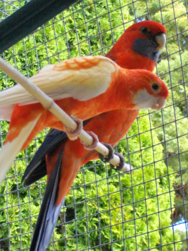 dernier couple de pennants orange ino avec leur dernier petit