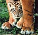 Photo de tigre47300