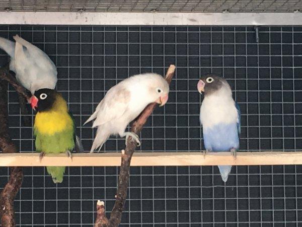 personata vert D violet  et PastelIno bleu et bleu D panaché