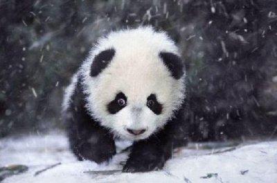 Les bébés pandas