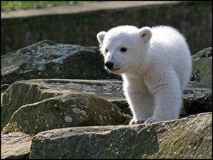 Les bébés ours polaires