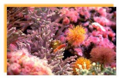 Ils font pousser des coraux !