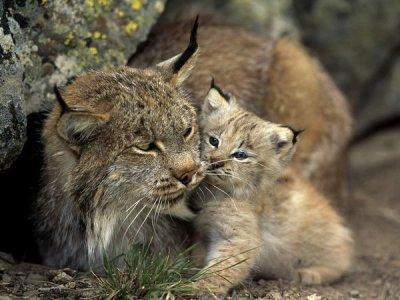 Le lynx : Quel athlète !