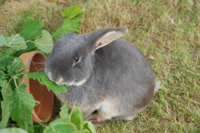Mon petit élevage de lapin bélier nain