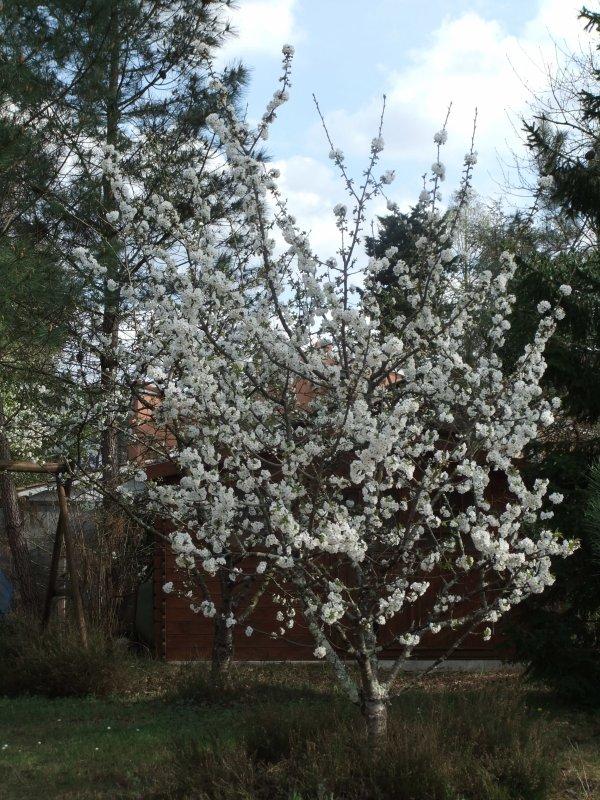 Mon cerisier est tout en fleur!