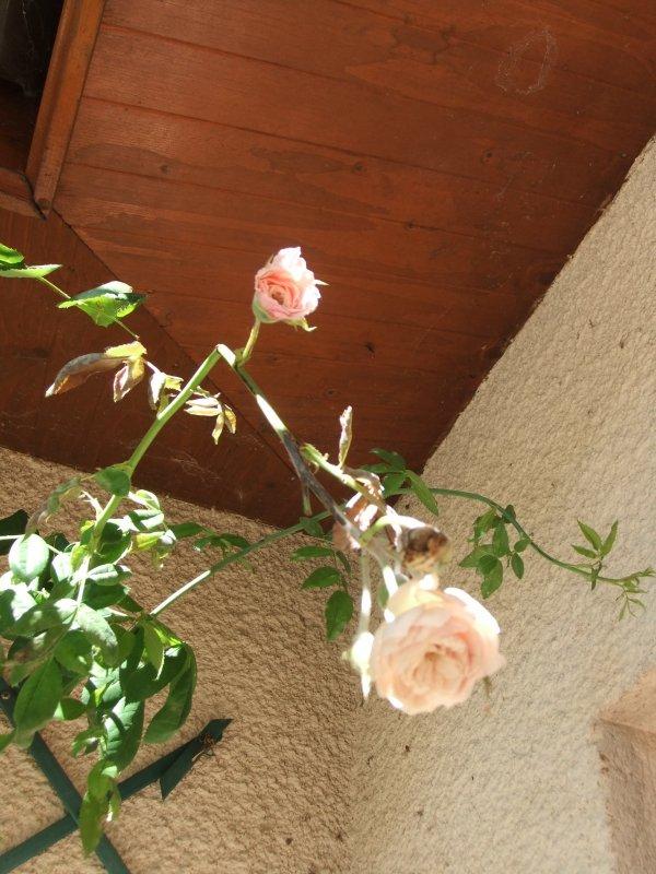 Encore quelques fleurs de mon jardin!