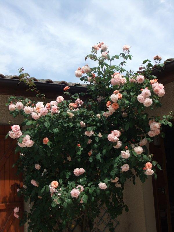 Le rosier de ma terrasse!