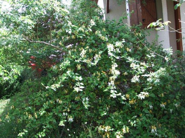 En écho à Tinaa60: mes chèvre-feuilles!
