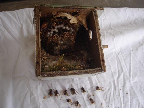 le nid de frelon après la destruction