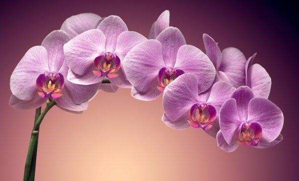 petite orchidée