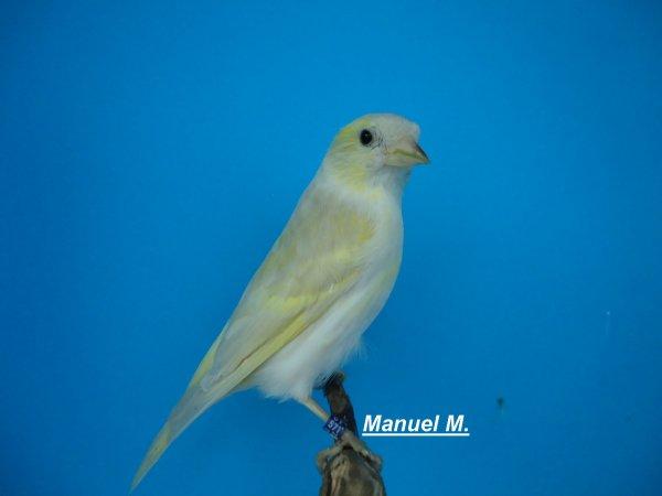 Fêmea Lugre Pastel Isabel =Femelle Tarin des Aulnes Pastel Isabel