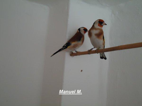 Casal de Pintassilgos Major 2011  = Couple Chardonnerets Major 2011