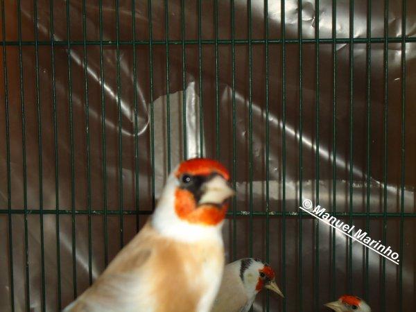 Certains de mes oiseaux = Alguns dos meus passaros