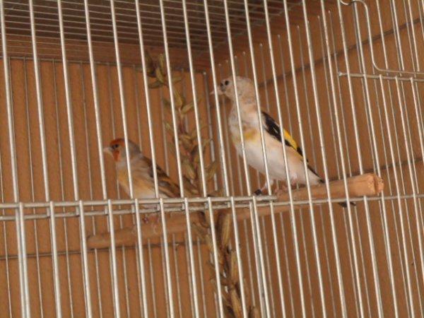 Mes oiseaux dans les changements de plumage=Alguns dos meus pássaros na muda da pena