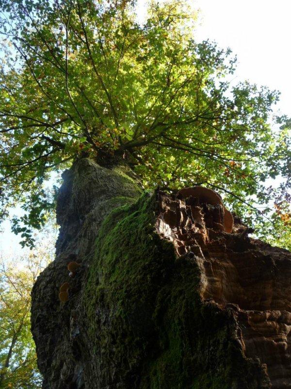 Le vieux chêne de Saint-Jean - 750 ans