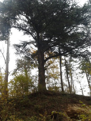 Grand arbre sur un ancien camps romain