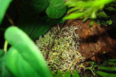 preparation d'un terrarium pour un cameleon nain:  Rhampholeon temporalis