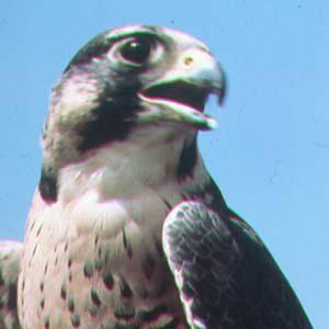 La pat' du faucon !