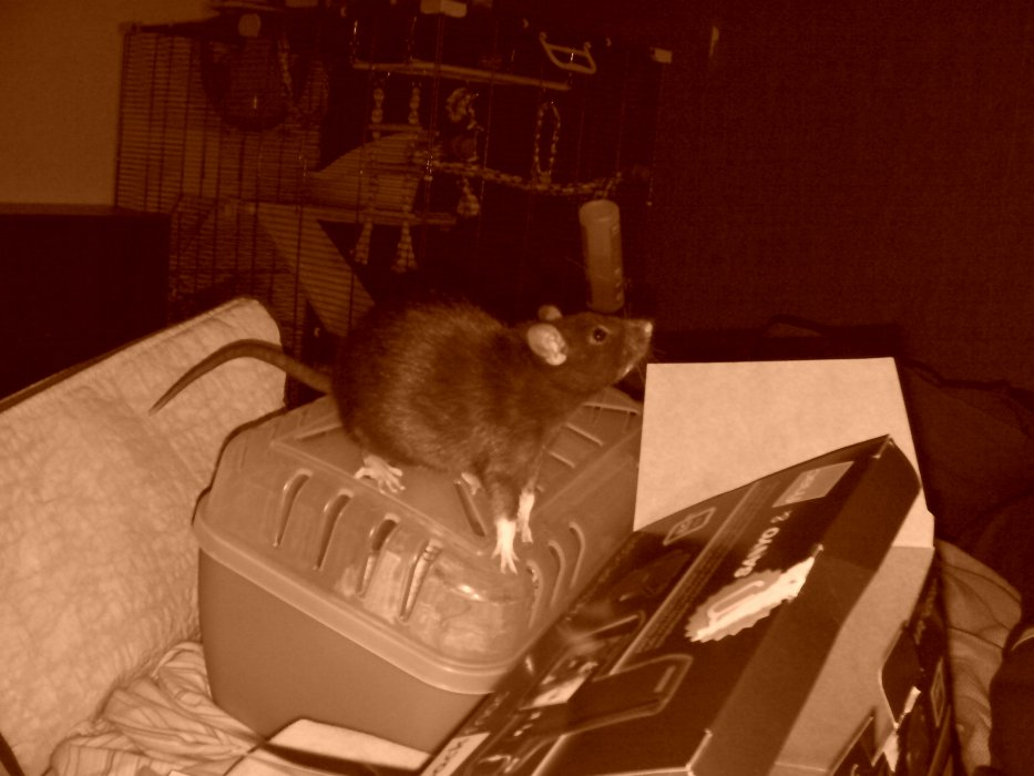 Blog de Harukaforever : mes rattes