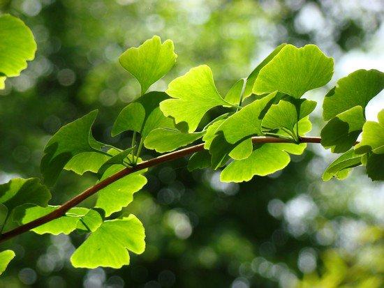 Ginkgo ou l'arbre aux quarante écus