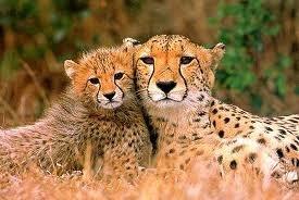 Les guepards
