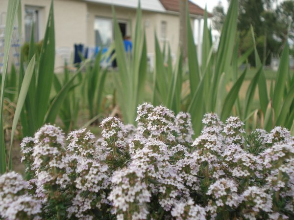 Fleurs ------> Glaïeul